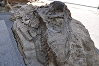 ティラノサウルス産状骨格
